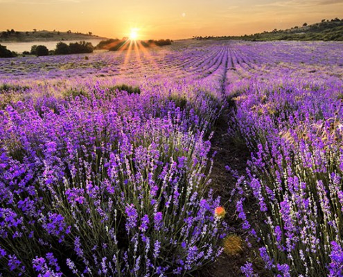 Lavender Field grown for Skincare